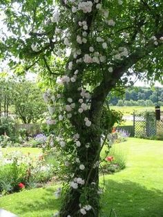 Image result for climbing rose on oak tree