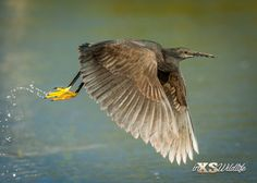 Black Heron in flight ©inXSWildlife Wildlife Photography, Art Photography, Amazing Animals, Kruger National Park, African Safari, Heron, Conservation, Habitats, Cool Photos