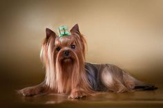 This Yorkshire Terrier loves posing for the camera Click on this image for more pinable pictures of #dogs #puppies and #YorkshireTerriers