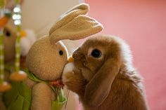 A young baby rabbit plays with her bunny toy - So cute I can't even stand it.