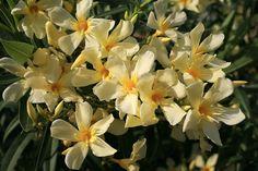 Nerium oleander 'Maria Gambetta'