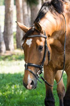 Bay warmblood horse