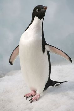 penguin - Google Search