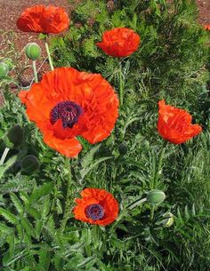 "ORIENTAL POPPY-Red and Pink Mix ""Papaver Orientale""  25+Perennial Seeds Helens Garden,http://www.amazon.com/dp/B00DVJEHHY/ref=cm_sw_r_pi_dp_0XsFtb1YB39NW170"