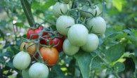 Growing Tomatoes: Bush or Vine