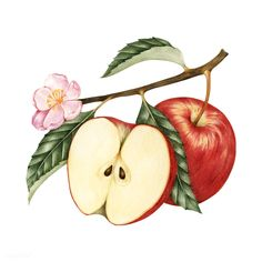 Download premium vector of Illustration of red apple 401642