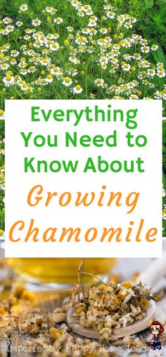 Urban Garden How to grow chamomile in your garden - everything you need to know to plant, grow and harvest. - How to grow chamomile and have an endless supply of these amazing herb! It is a beautiful flower that adds a touch of whimsy to any garden. Permaculture, Hydroponic Farming, Aquaponics Diy, Gardenias, Diy Hydroponik, Chamomile Growing, Chamomile Tea, Organic Gardening Tips, Vegetable Gardening