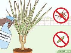 How to Care for a Madagascar Dragon Tree. The Madagascar dragon tree, or Dracaena marginata, is a reliable and low-maintenance indoor plant. If you live in a warm area with extremely mild winters, you can also keep this colorful tree. Madagascar Dragon Tree, Green Bedroom Decor, Low Maintenance Indoor Plants, Natural Pesticides, Colorful Trees, Potting Soil, 5 Ways, House Plants, Roots