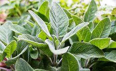 Ideas for recipes using sage Ideas y recetas para usar la Salvia Sage Recipes, Herb Recipes, Real Food Recipes, Simple Recipes, Healing Herbs, Medicinal Plants, Fresh Sage Recipe, Rhubarb Plants, Growing Herbs