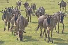 Wildebeests - MYPIC - Charles Kaplan Picture Viewer/Slideshow