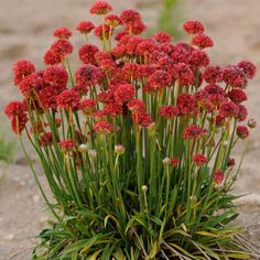 Armeria Maritima Joystick- Red- Drumstick Thrift-Good for cut flowers, Perennial by CaribbeanGarden on Etsy https://www.etsy.com/listing/213029402/armeria-maritima-joystick-red-drumstick