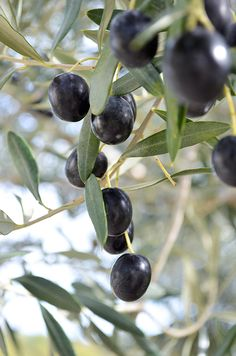 Pečene masline u maslinovom ulju/Preserved baked olives in olive oil Olive Fruit, Fruit And Veg, Fruits And Vegetables, Terre Nature, Under The Tuscan Sun, Olive Gardens, Exotic Fruit, Olive Tree, Fruit Trees