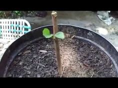 How To Grow Fruit Trees From Cuttings. By: Rick Gunter - YouTube