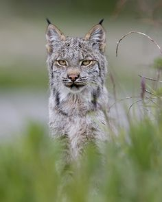 You might see a Lynx, when your Alaska Highway road trip stops at Denali National Park. photo by DenaliNPS