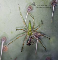 """""""going for the green"""" - Lynx Spider ©Dancing Snake Nature Photography #Arizona, #Nature, #Photography, #DancingSnakeNaturePhotography, #Arachnids, #Spiders"""