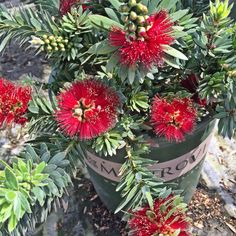 Dwarf Bottlebrush - Blood red blooms cover the top of this dwarf grower for an extended season. Dense branches are covered with blue-green leaves. Versatile compact size is perfect for today's smaller gardens. Evergreen.