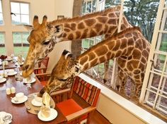 Giraffe Manor in Nairobi, Kenya.the only hotel in the world where you can eat breakfast with giraffe. Nairobi, Photo Humour, Picture Writing Prompts, Picture Prompt, Narrative Writing, Tier Fotos, Eat Breakfast, Exotic Pets, Exotic Animals