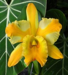 Garden Flowers - Annuals Or Perennials Cattleya Majestic Light Crown What A Beauty Rare Flowers, Most Beautiful Flowers, Exotic Flowers, Tropical Flowers, Pretty Flowers, Beautiful Gardens, Yellow Orchid, Yellow Flowers, Purple Orchids