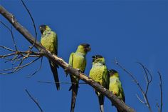 Wild Black-hooded Parakeets (Nandayus nenday) near Malibu, CA     Photo by Sandor Havasi