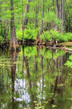 Cypress Swamp - Swamp Burgaw, Cape Fear River, North Carolina
