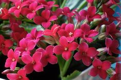 How to grow both flowering and non-flowering Kalanchoe plants, including the popular K. blossfeldiana. Tips on watering, propagation and light.