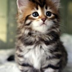 MUNCHKIN KITTEN I know this isn't a dog but if I was going to ever own a cat, this would probably be it... So adorable!!