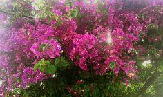 Planta buganbilla jardin