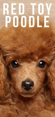 Red Toy Poodle & All About This Stunning and Rare Color Source by The post Red Toy Poodle & All About This Stunning and Rare Color appeared first on Douglas Dog Hotel. Tiny Toy Poodle, Toy Poodle Puppies, Red Poodles, Mini Poodles, Standard Poodles, Pet Dogs, Dogs And Puppies, Healthiest Dog Breeds, Poodle Cuts