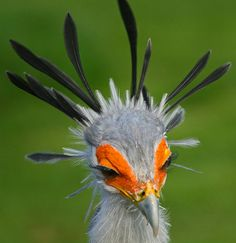 Secretary bird - The crown made of feathers and the long black eyelashes over the bright orange skin is a spectacular sight.
