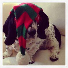 @MandytheBasset and her Christmas hat