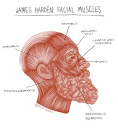 Medical illustration of James Harden. Under James' skin, we can see that the beard has implemented itself as part of his muscle anatomy as Hardenalis Beardoid.