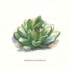 Echeveria pulidonis - Watercolor, 2015 #succulents #echeveria