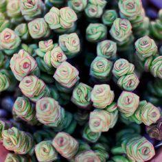 Crassula Perforata - Leaf & Clay