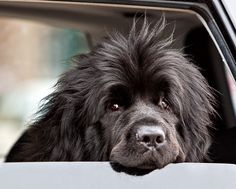 Newfoundland dog- I've seen this look many times...