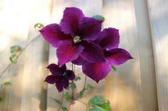 Clematis 'Star of India' is een bosdruif of bosrank met vrij donkere paarsrode bloemen. Clematis 'Star of India' bloeit overdadig in de periode juni-augustus.    Clematis 'Star of India' staat graag op een zonnige tot halfbeschaduwde plaats maar de voet van Clematis 'Star of India' moet wel beschermd worden tegen de hete middagzon. http://www.appeltern.nl/nl/plantenencyclopedie/clematis_star_of_india_-_bosdruif_bosrank/