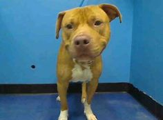 TO BE DESTROYED - 10/12/13 Manhattan Center My name is GUCCI. My Animal ID # is A0981373. I am a male red am pit bull ter mix. The shelter thinks I am about 2 YEARS  I came in the shelter as a OWNER SUR on 10/07/2013 from NY 10456, owner surrender reason stated was LLORDPRIVA. https://www.facebook.com/photo.php?fbid=687713637908185&set=a.611290788883804.1073741851.152876678058553&type=3&theater