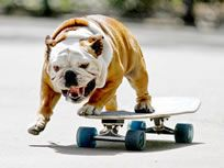 World's Fastest Skateboarding Dog - Tilman passed away Oct 27, 2015 at the age of 10 from heart problems.