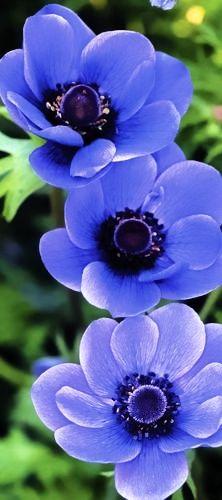 I ❤ COLOR AZUL INDIGO + COBALTO + AÑIL + NAVY ♡ Beautiful Anemone