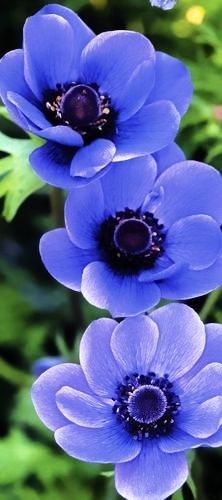 I ❤ COLOR AZUL INDIGO + COBALTO + AÑIL + NAVY ♡ Beautiful Anemone