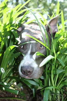 Use these 10 super-duper easy tips for a Happy Pit Bull! Beautiful Dogs, Animals Beautiful, Cute Animals, I Love Dogs, Cute Dogs, Nanny Dog, Pitbull Terrier, Pitbull Pups, Pit Bull Love