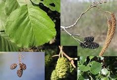 Black alder (Alnus glutinosa) is a tall European tree that grows up to 30 m tall (100 ft.). It is cold hardy in zones 2 – 7. It is short-lived species (30 – 70 years) that thrives in low-lying damp and riparian places.