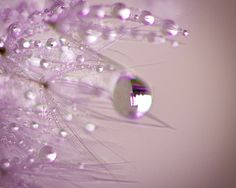 Dandelion seeds with dewdrops against a purple by Lynn Langmade.   #purple #dandelion #macro #closeup #macro photography #dandelions #dew #dewdrops #winter #lynnlangmade #sparkle #sparkly #dream #dreamy #nature #outdoors #flower photography #flowers #purple flowers