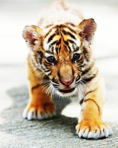 What a cute little tiger, ready to pounce.