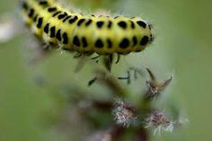 Caterpillar: A macro photograph by Gudrun Pigge