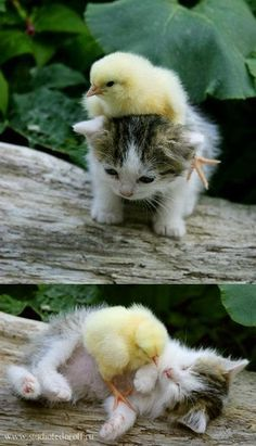 ♥ Spiffy Pet Stuff ♥  5 Strange and amazing animal Friendships, awww cutest thing ever :*