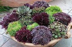 Container of Hens and Chicks (Sempervivum tectorum) Succulents In Containers, Cacti And Succulents, Container Plants, Planting Succulents, Container Gardening, Planting Flowers, Air Plants, Garden Plants, Cactus E Suculentas