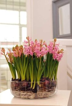 Planting bulbs in a container-- indoor water garden