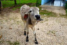 Apen matkat: Kiertomatkan osa 21, musiikkia, eläimiä ja lapsia Guatemalan rajalla Goats, 21st, Animals, Animales, Animaux, Animal, Animais, Goat