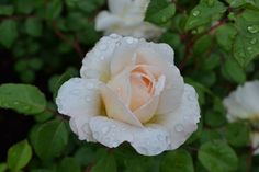No End to Gardens, Roses in bloom at Lewis Ginter Botanical Garden.  (Photos by Garrett McLees)