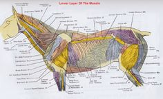 Horse Anatomy Pictures-Think Like a Horse-Rick Gore Horsemanship ® Equine Massage Therapy, Horse Therapy, Horse Information, Horse Anatomy, Horse Facts, Horse Camp, Pet Vet, Animal Science, Horse Grooming